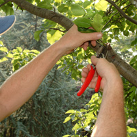 Tree Pruning Maida Vale